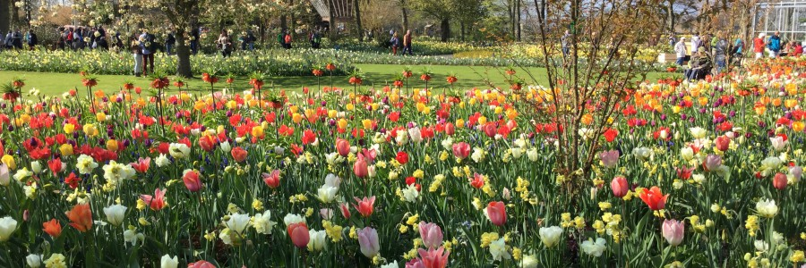 champs de tulipes