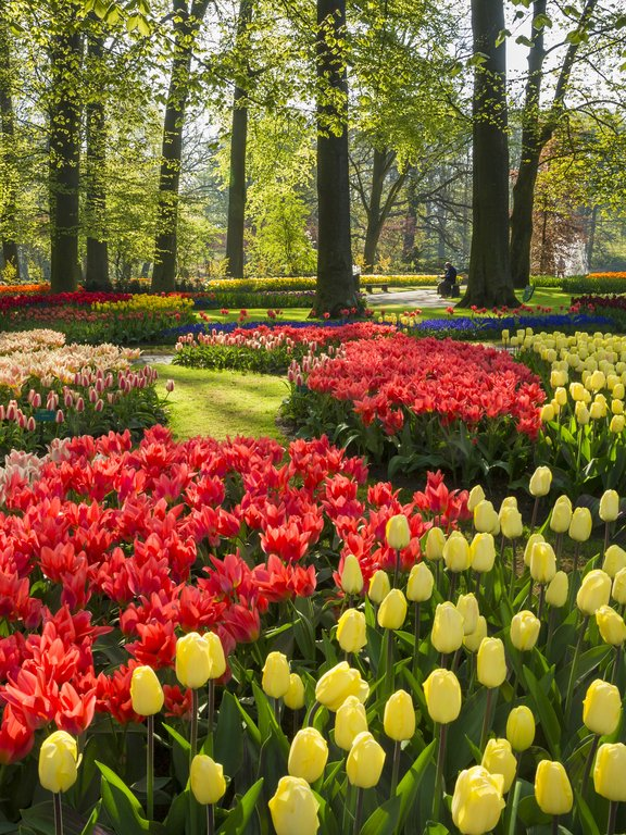 champs de tulipes hollande
