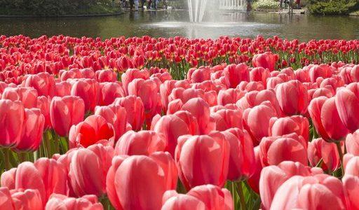 les champs de tulipes