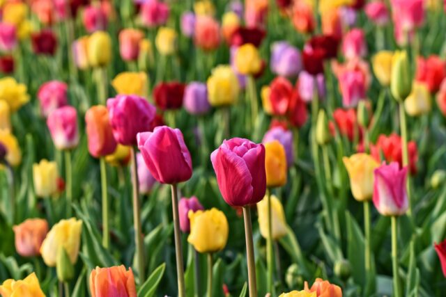 parc des tulipes